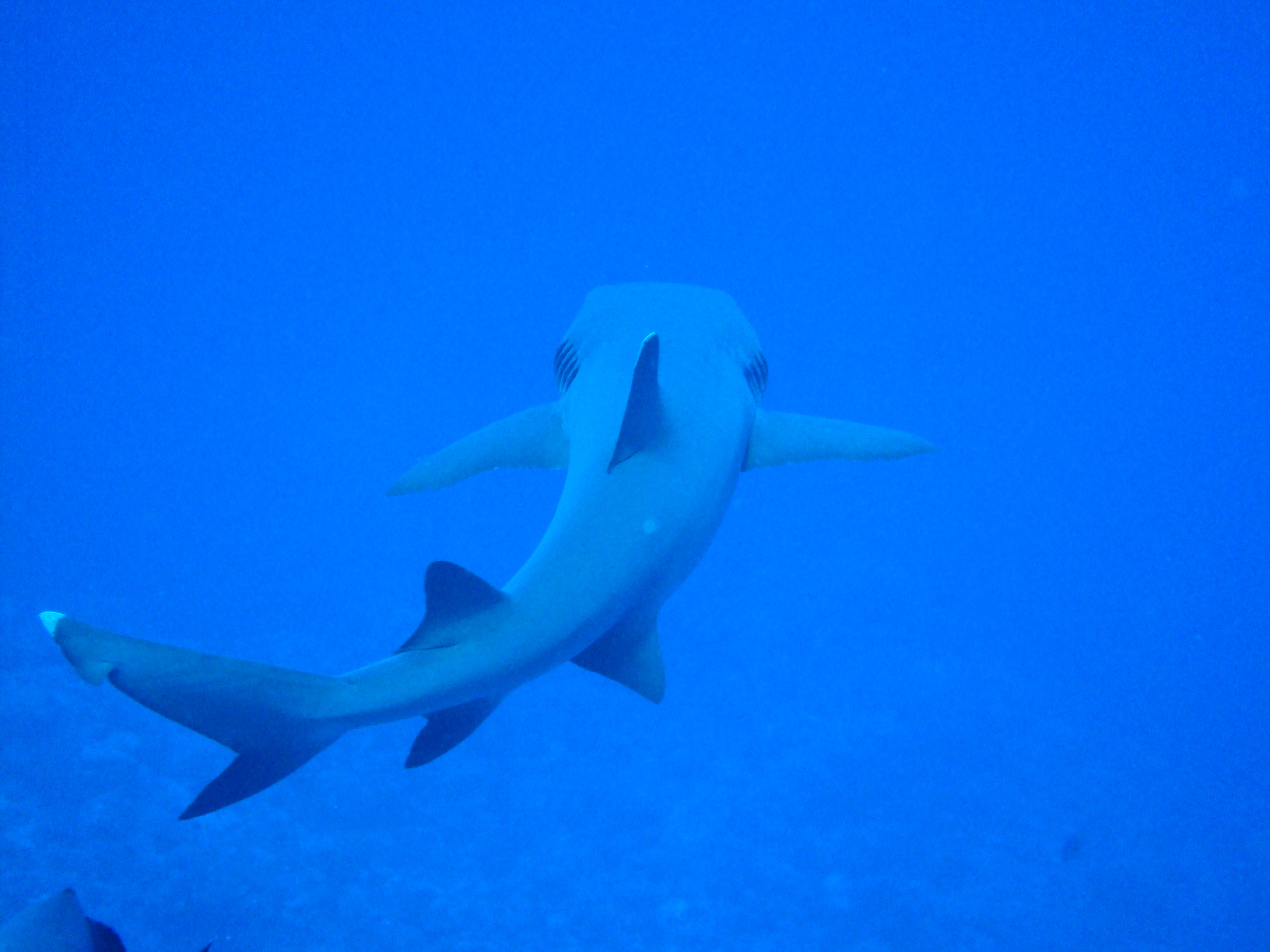 Chondrichthyes - Sharks and Rays - The Great Barrier Reef ...